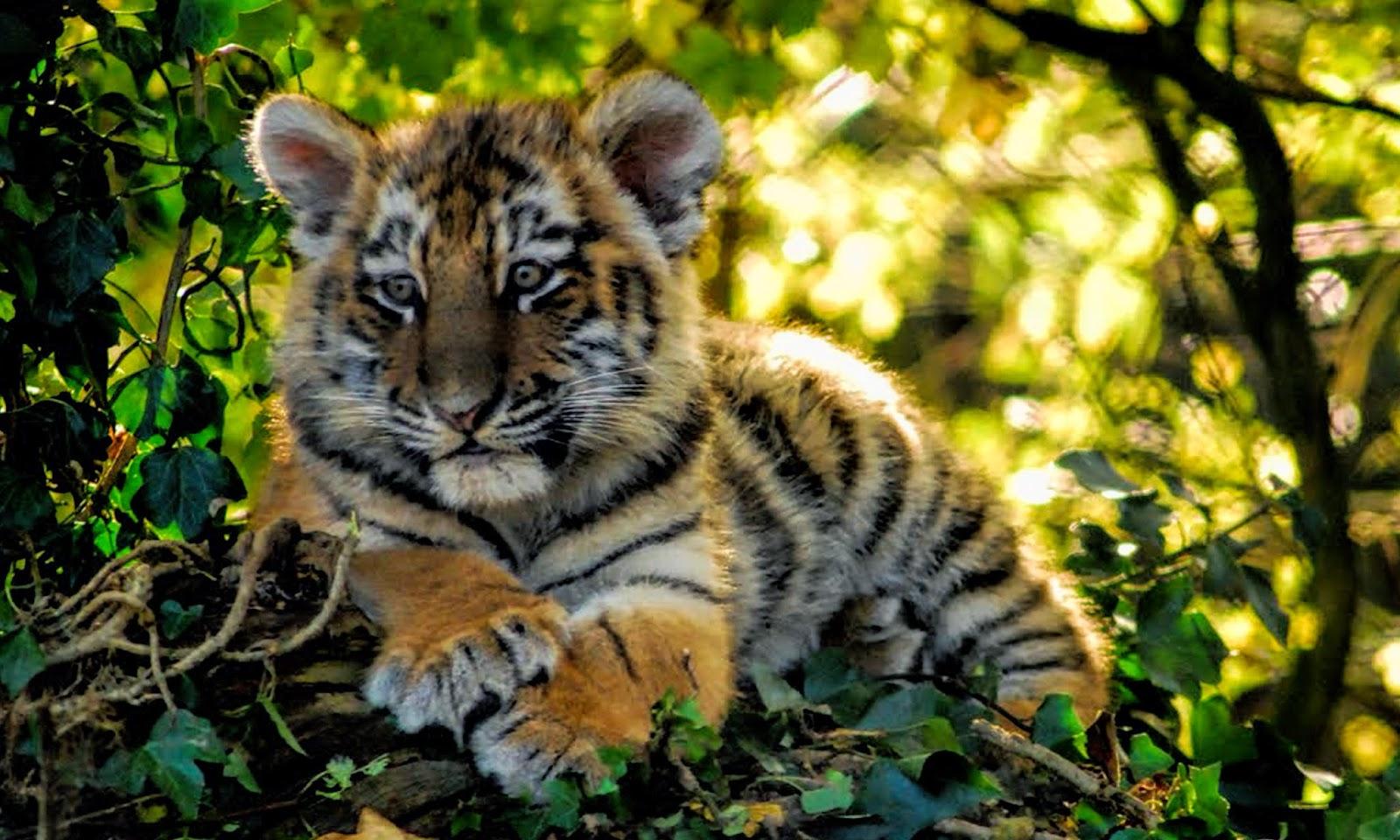 Tiger Cubs Wallpapers 1600x960