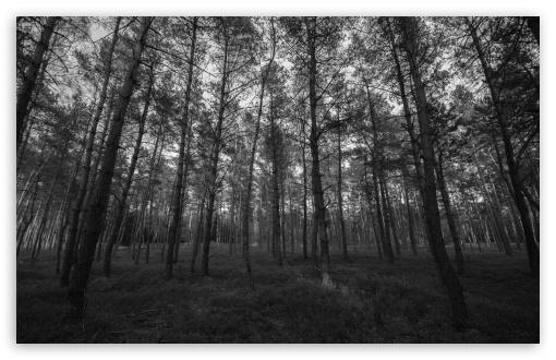 Forest Black And White HD wallpaper for Standard 43 54 Fullscreen 510x330
