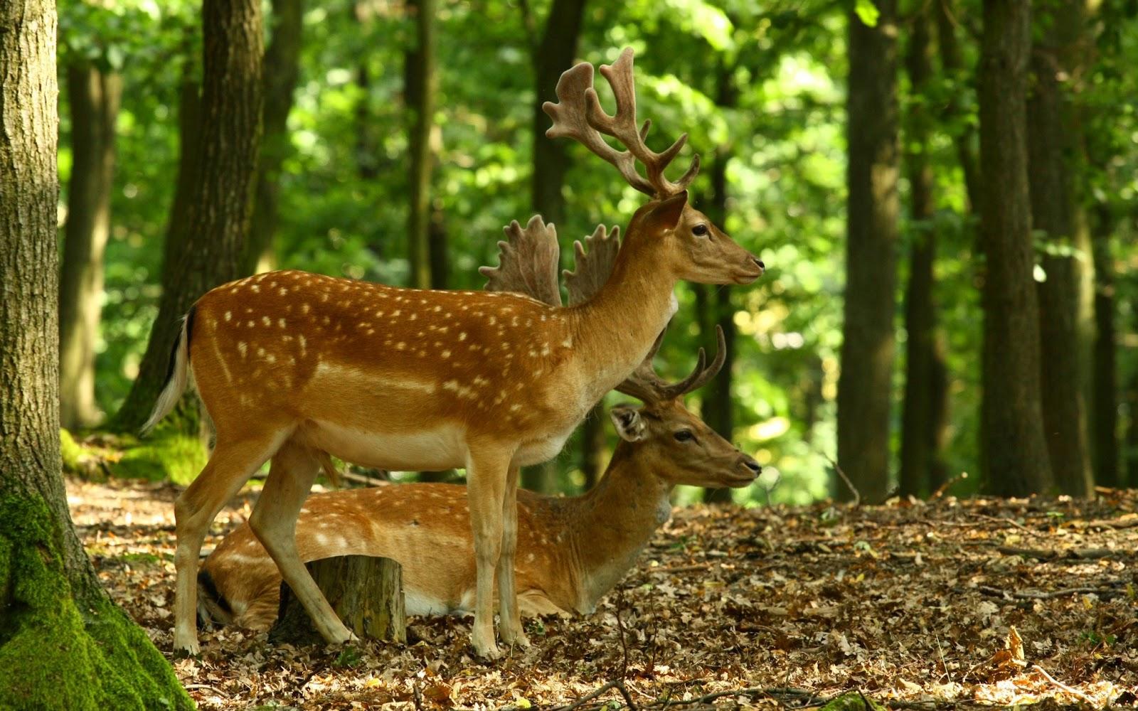 Deer wallpaper 1600x1000