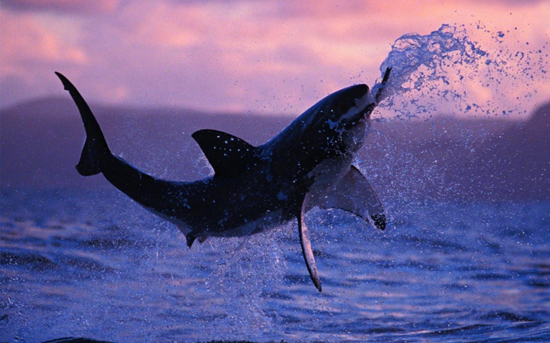 Great White Shark Wallpaper Hd WallpaperSafari