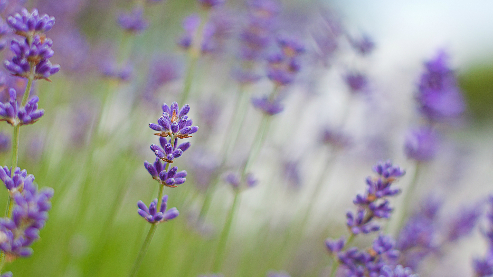 Lavender Flower Wallpaper - WallpaperSafari