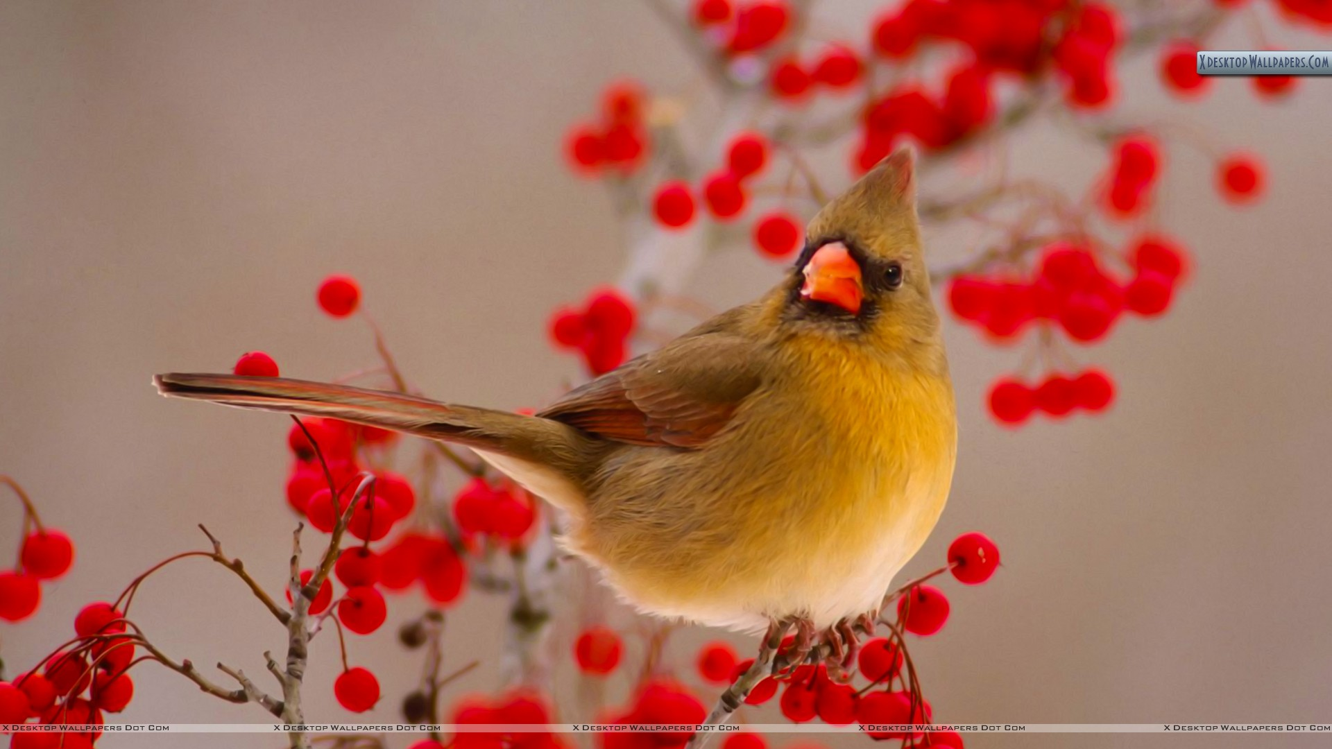 Female Northern Cardinal Among Hawthorn Berries Wallpaper 1920x1080
