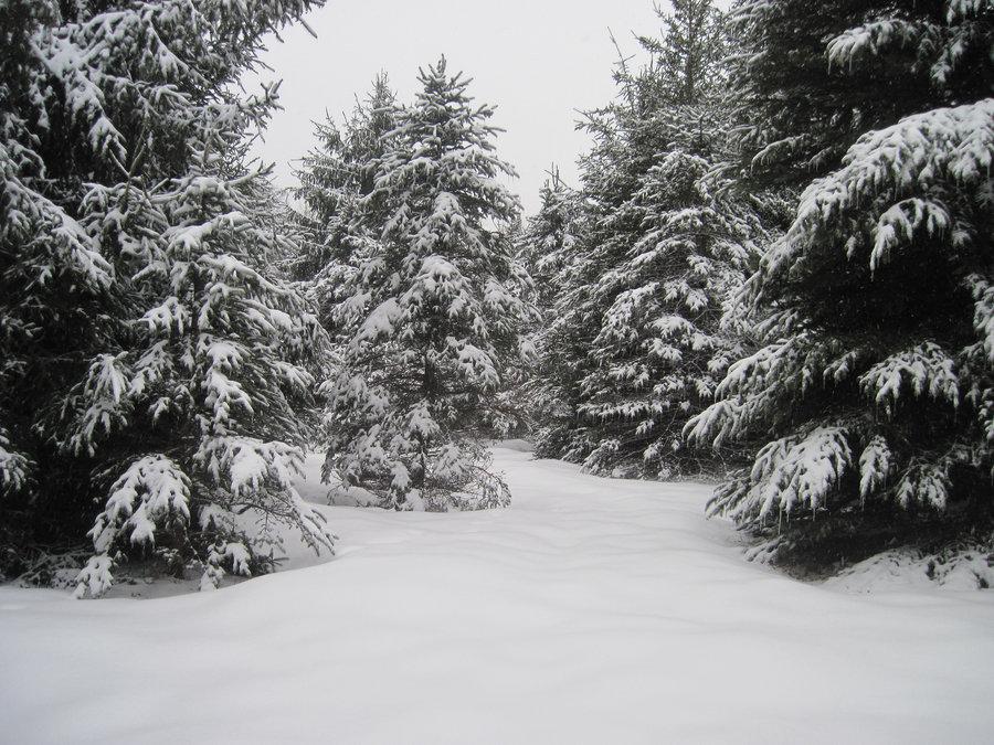 Winter Pine Trees Wallpaper Wallpapersafari