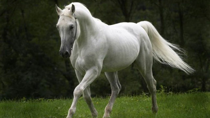 black green White horse Animals Horses HD Desktop Wallpaper 800x450