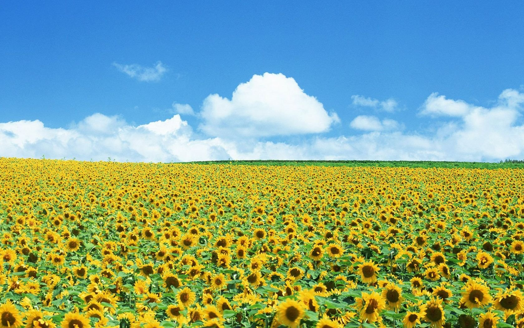 Field Of Sunflowers Wallpaper: Field Of Sunflowers Wallpaper