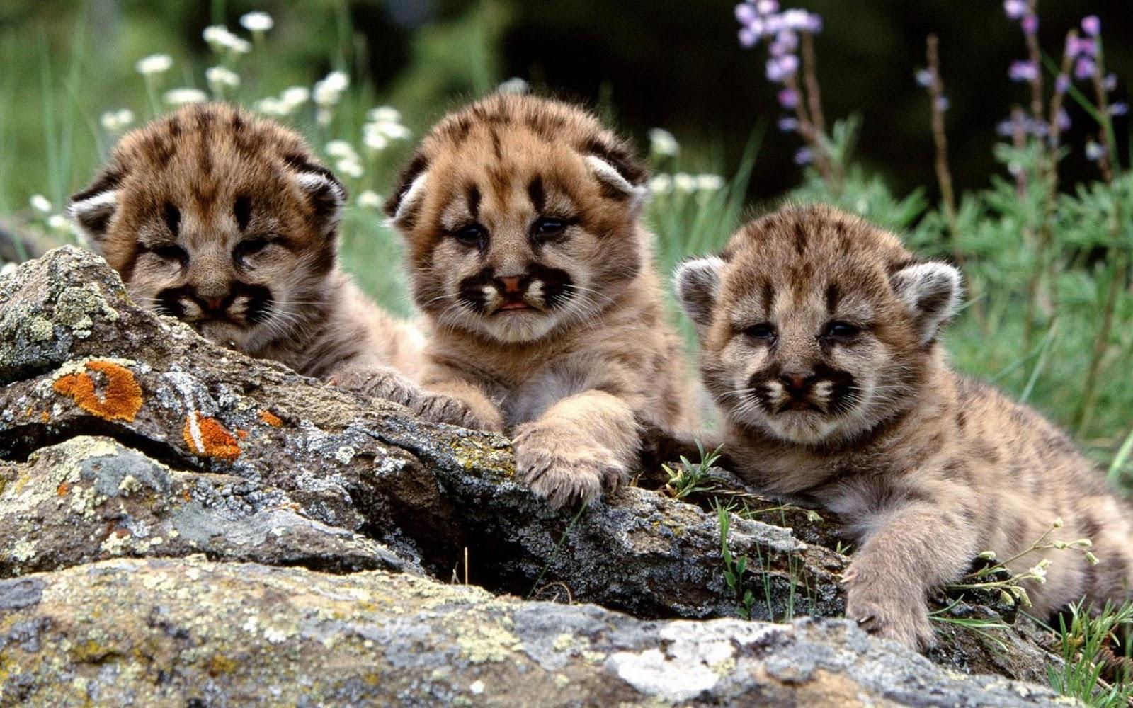 wattafukk Three cute tiger cubs 1600x1000