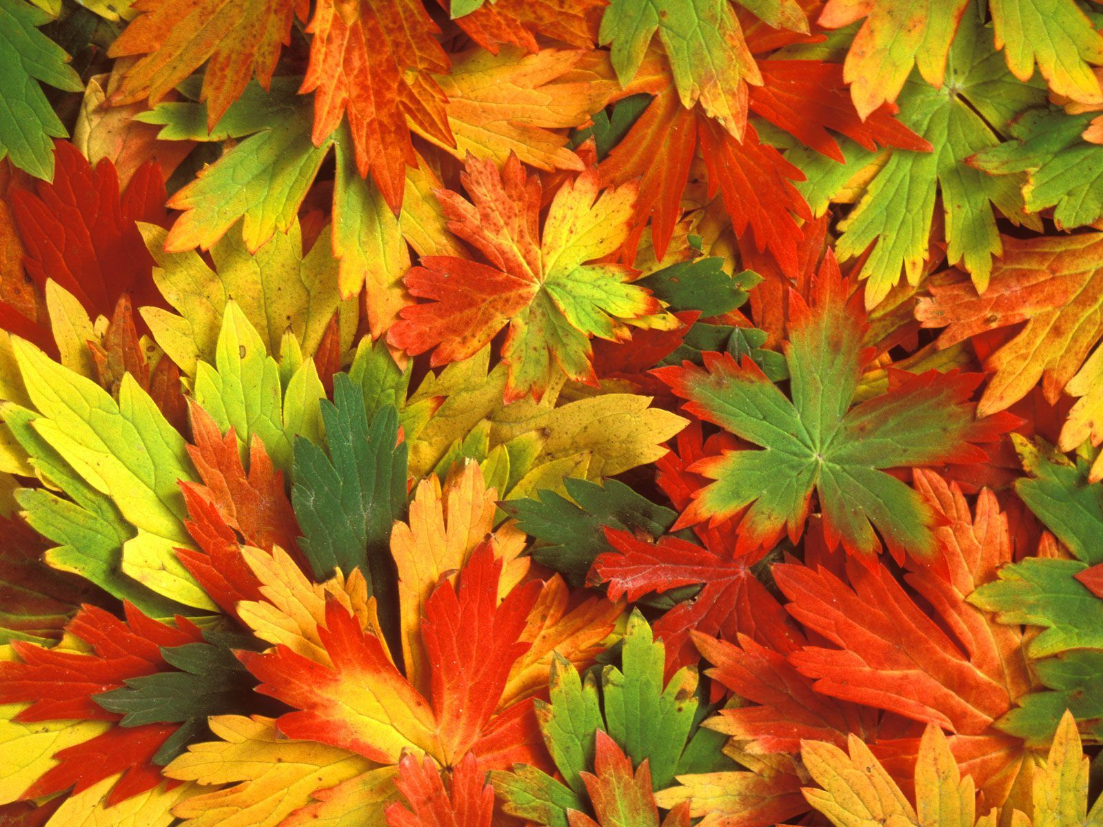 of autumn beautiful leafs autumn leaf scene fresh autumn leafs 1600x1200