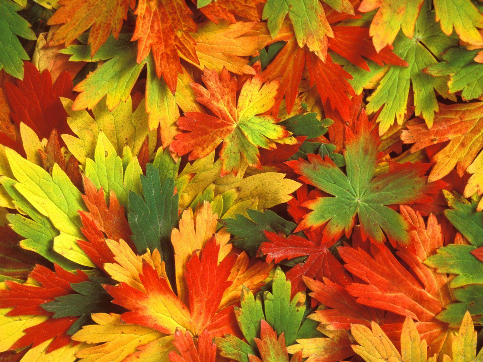 of autumn beautiful leafs autumn leaf scene fresh autumn leafs 1600x1200