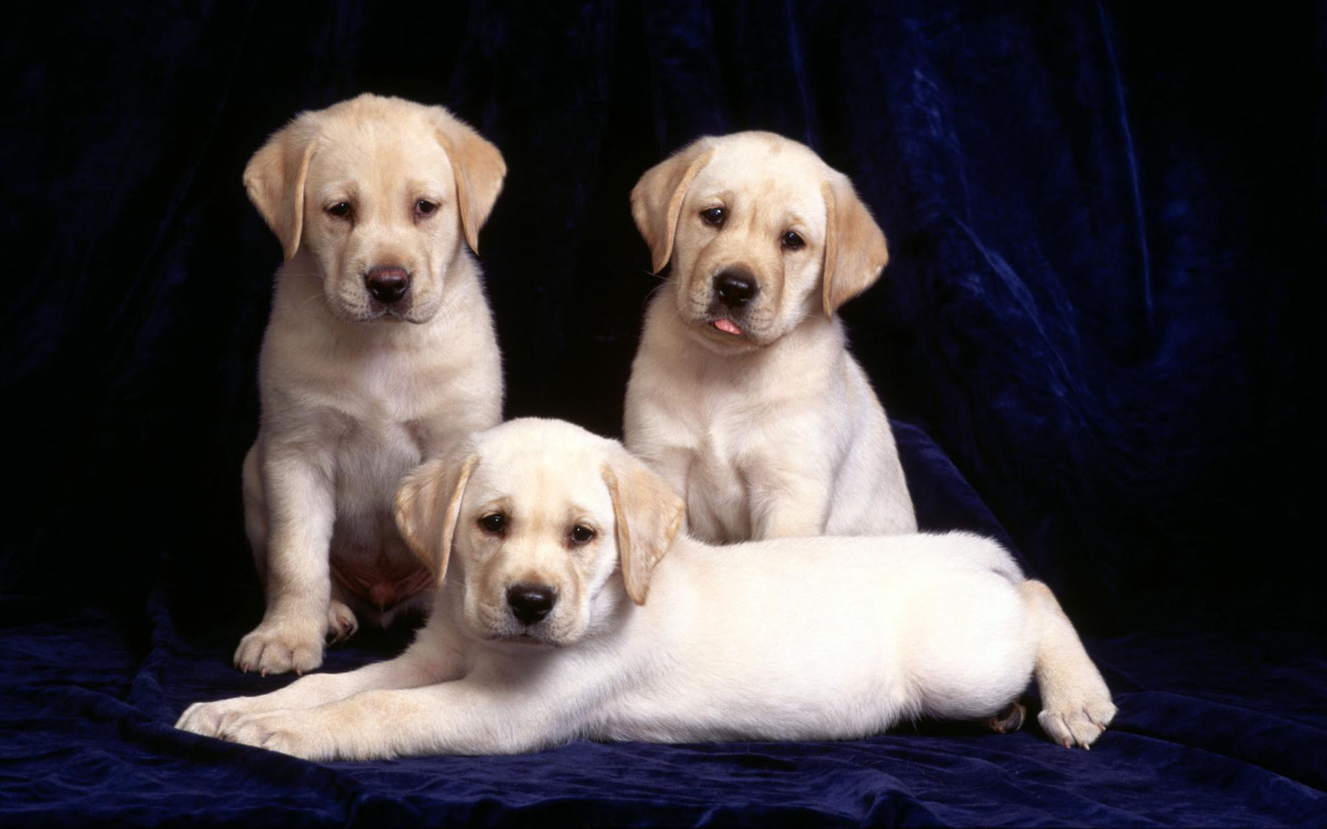 Yellow Lab Puppies desktop wallpaper 1920x1200