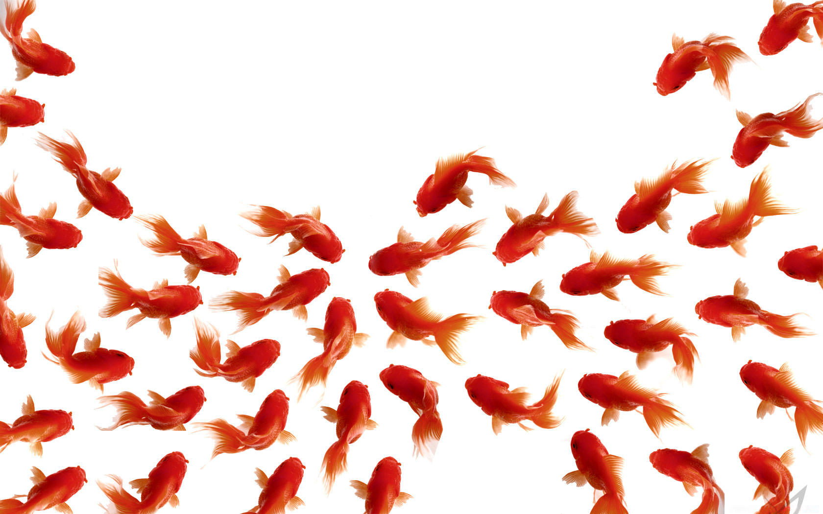Goldfish phone pictures Animal desktop background Animal Wallpapers 1680x1050
