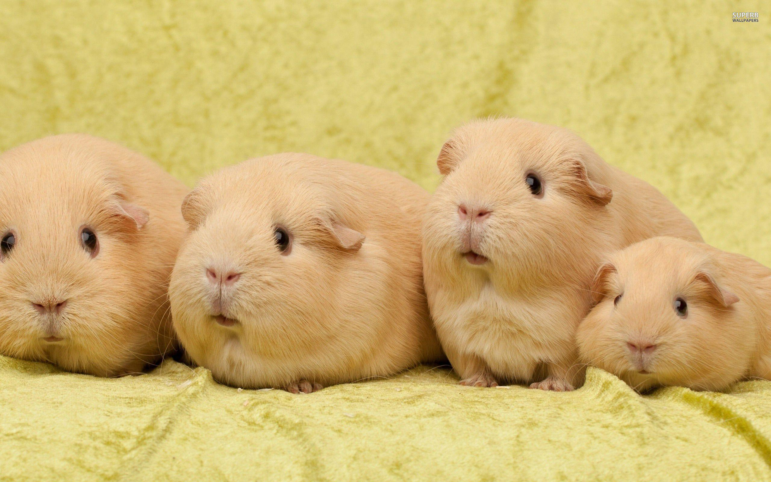 Guinea Pig Wallpapers 2560x1600