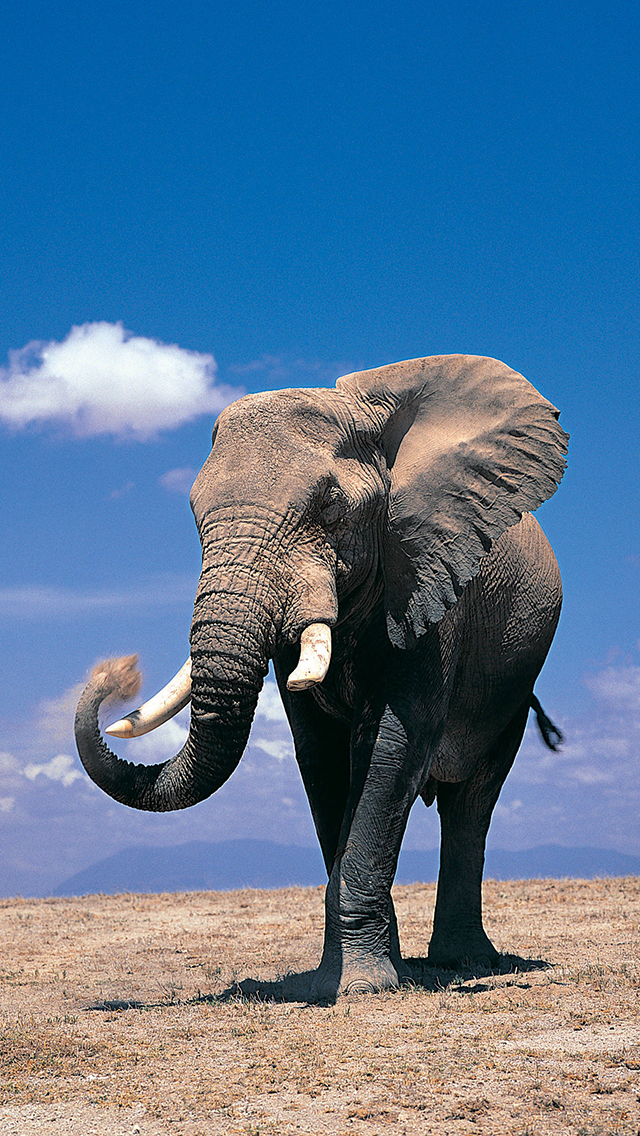 Elephant iPhone Wallpaper - WallpaperSafari