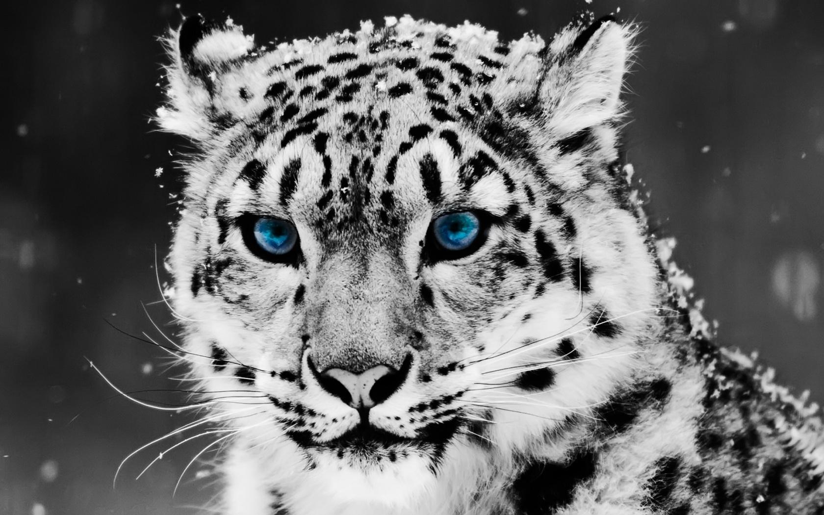 Snow Blue Eye Leopard Wallpapers HD Wallpapers 1680x1050