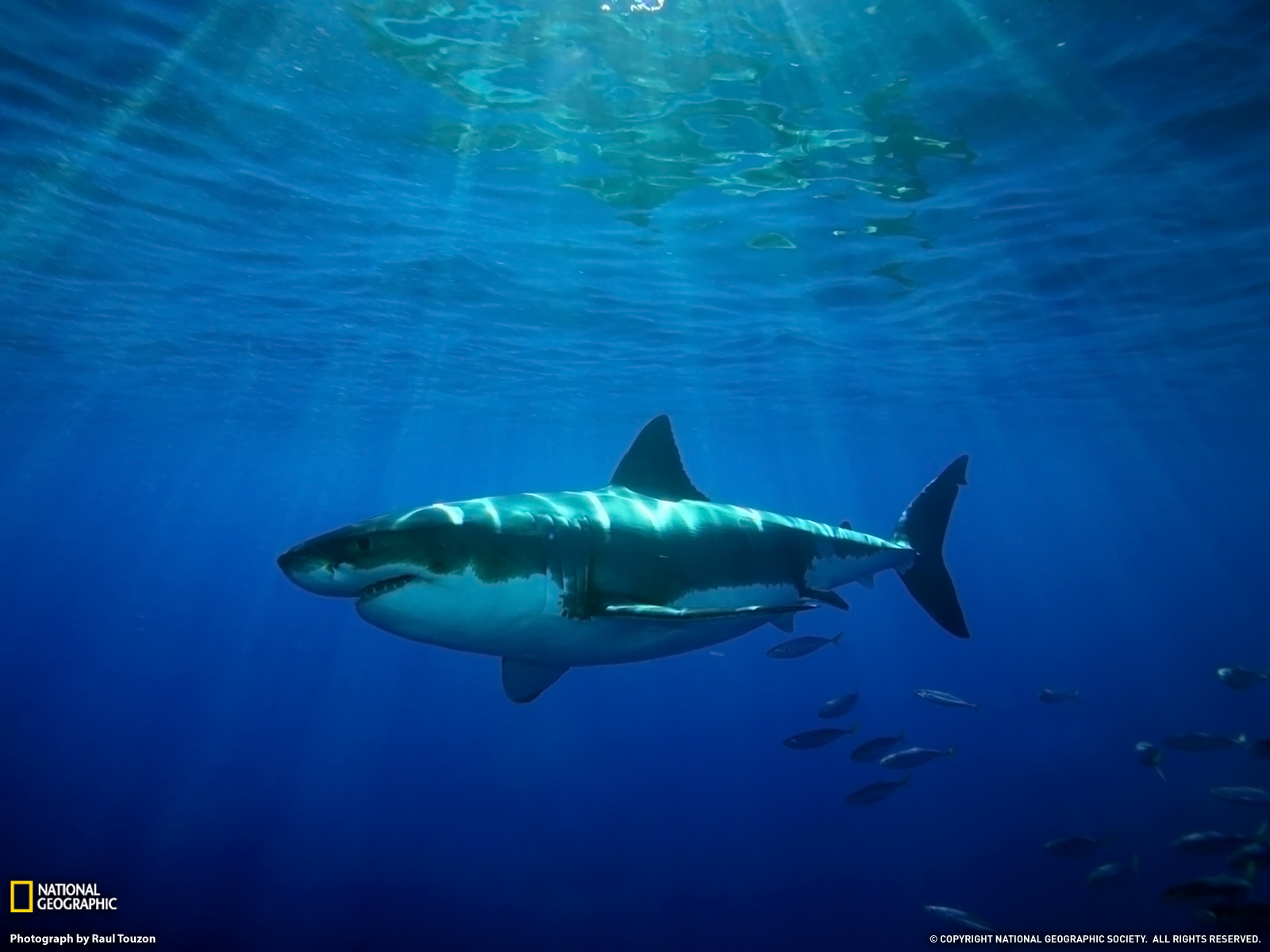 Free Great White Shark Wallpaper - WallpaperSafari Shark In The Water Wallpaper