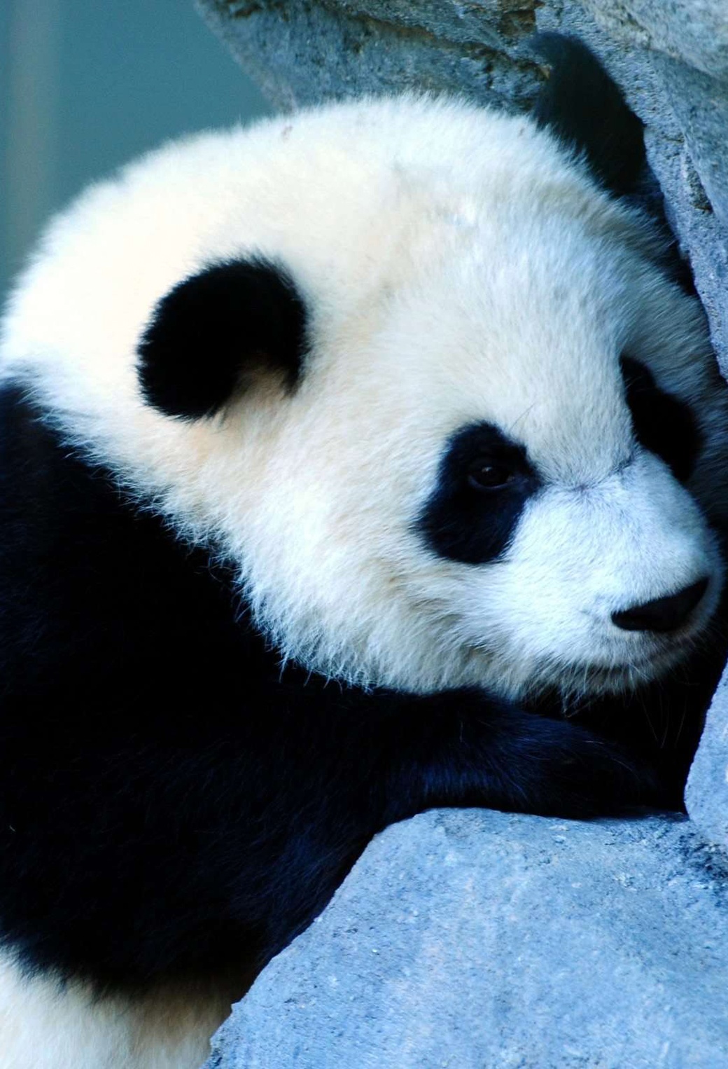 3Wallpapers Best Wallpapers for all iPhone Retina Cute Panda 1040x1526