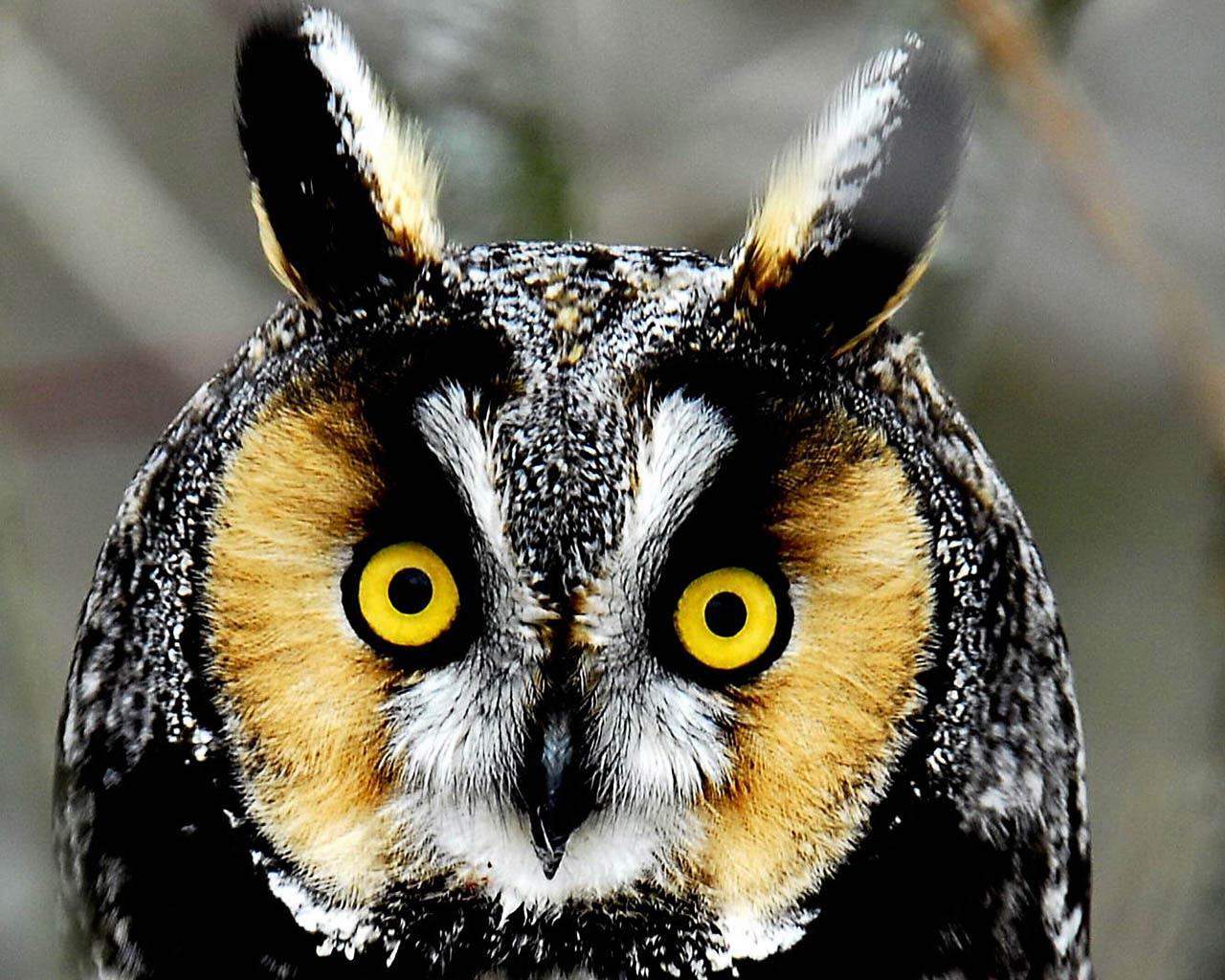 Free Download Fee Owl Wallpaper Hd For Downlaod Fee Owl Wallpaper