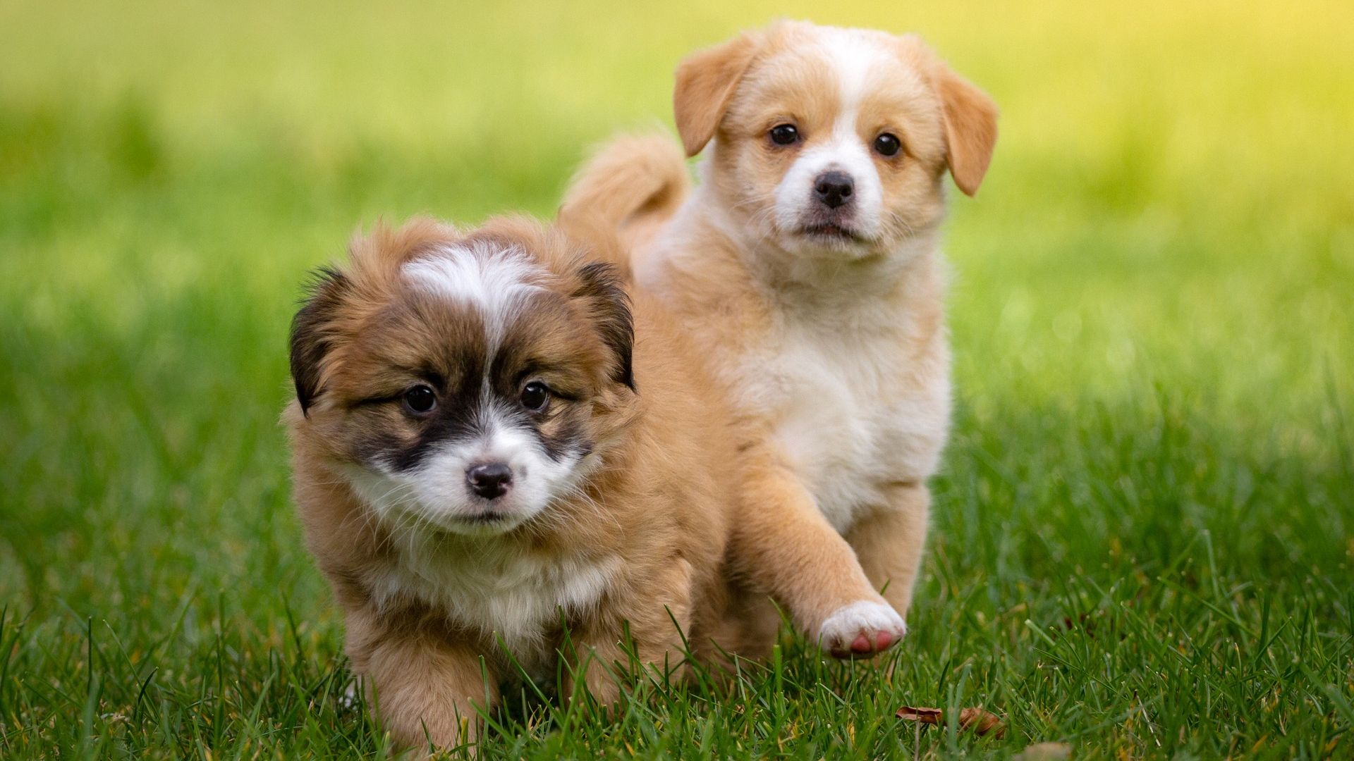 Cute Two Puppies Wallpaper HD   Wallpaper Stream 1920x1080