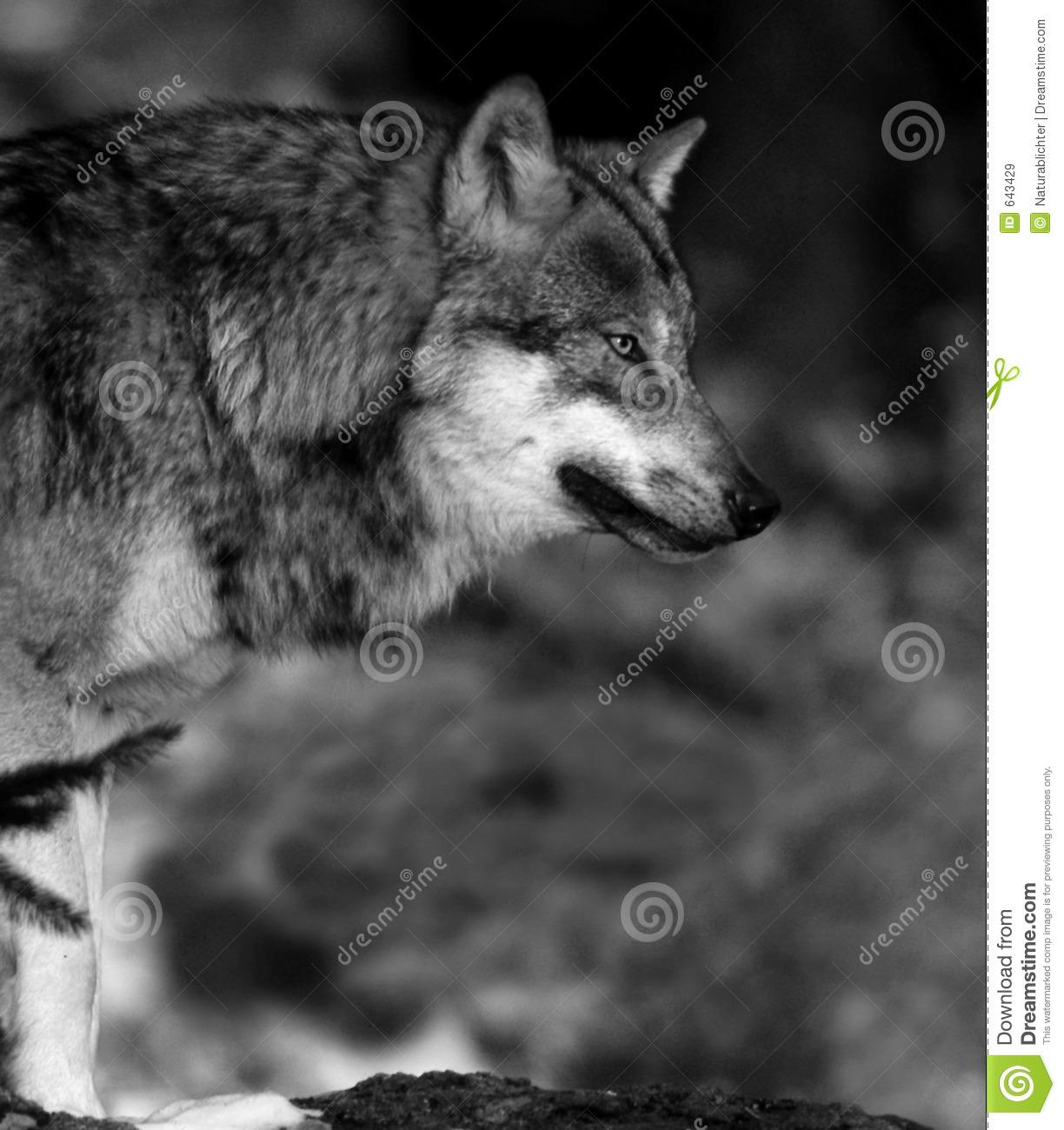 White Wolf : Stunning Photographs Showcase the Beauty of ...