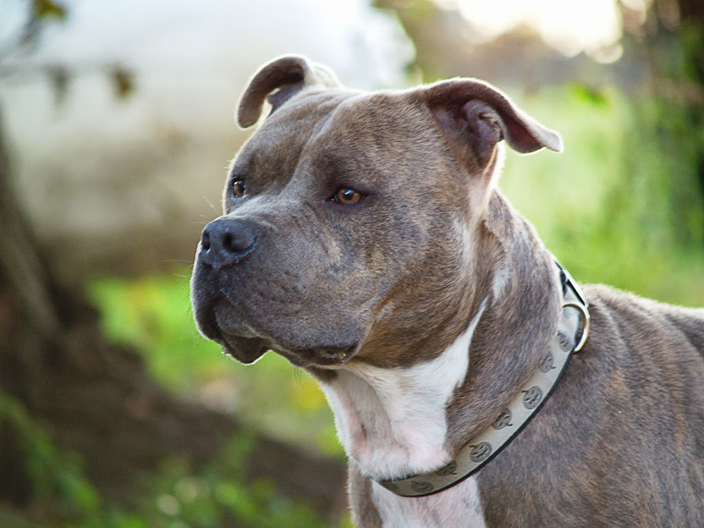 Pit Bull Dogs Wallpapers PitBull Dog Breed