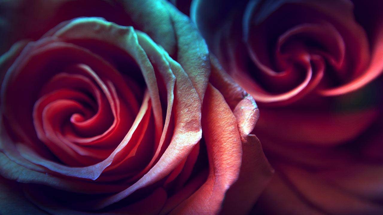 Rose Live Wallpaper   Android Apps and Tests   AndroidPIT 1280x720