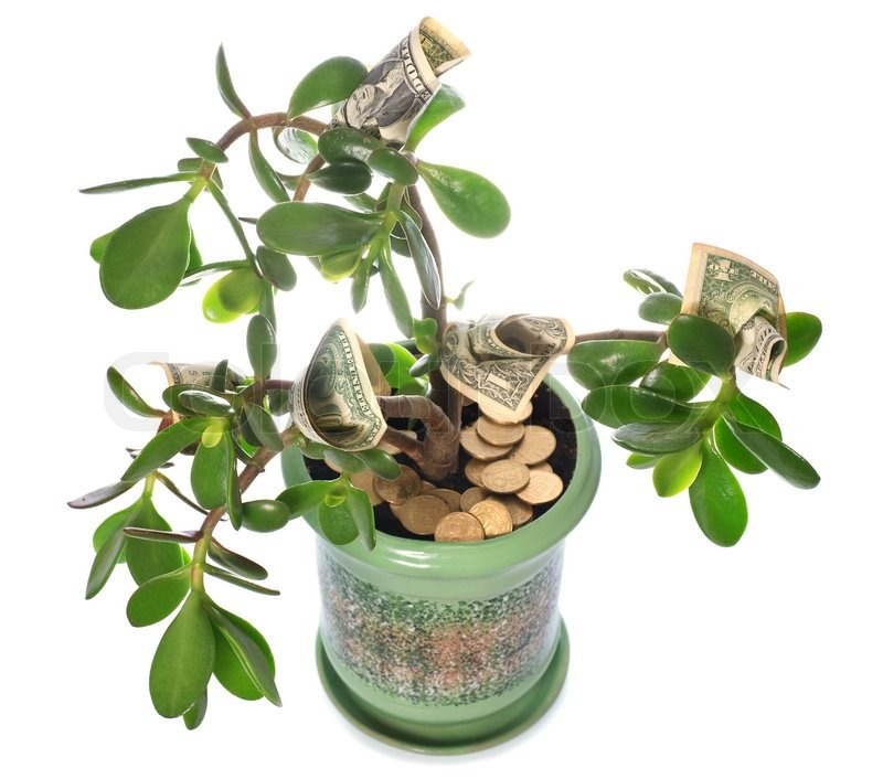 Money Tree Plant Feng Shui Wealth