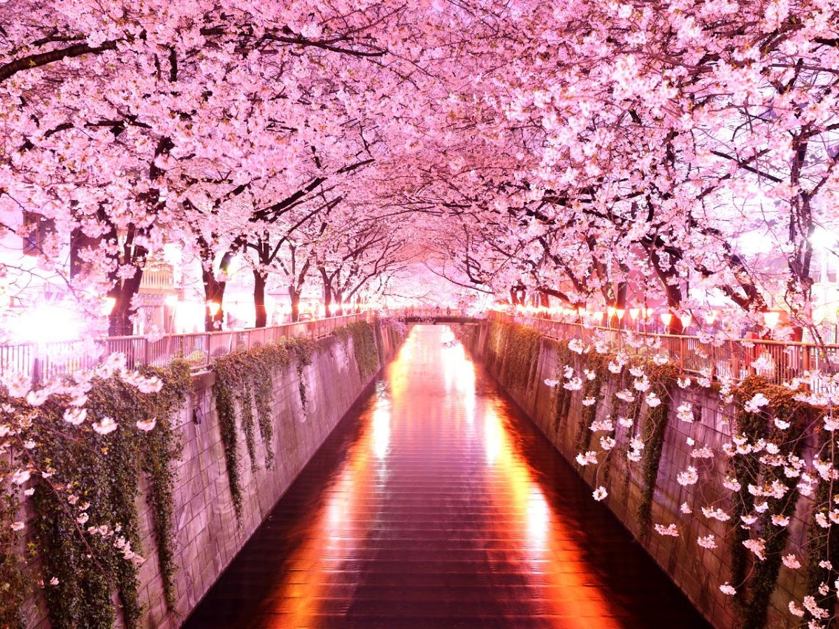 Sakura Flowers Live Wallpaper   Android Apps on Google Play 1200x900