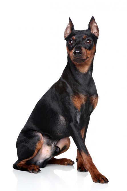 Miniature Pinscher   Wikipedia the encyclopedia   HD Wallpapers 445x668
