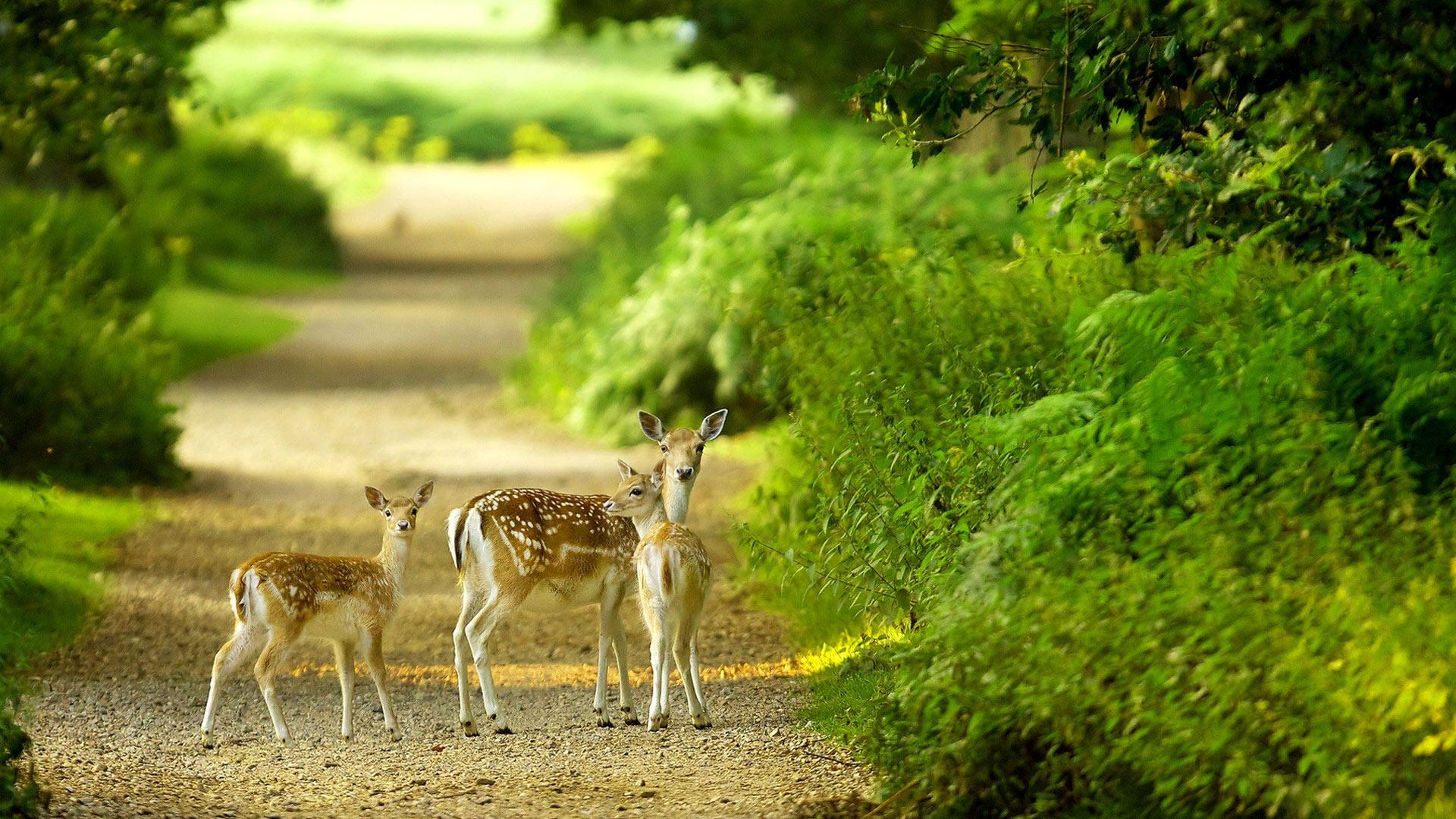Free Download Beautiful Baby Deer Green Nature Hd Wallpaper