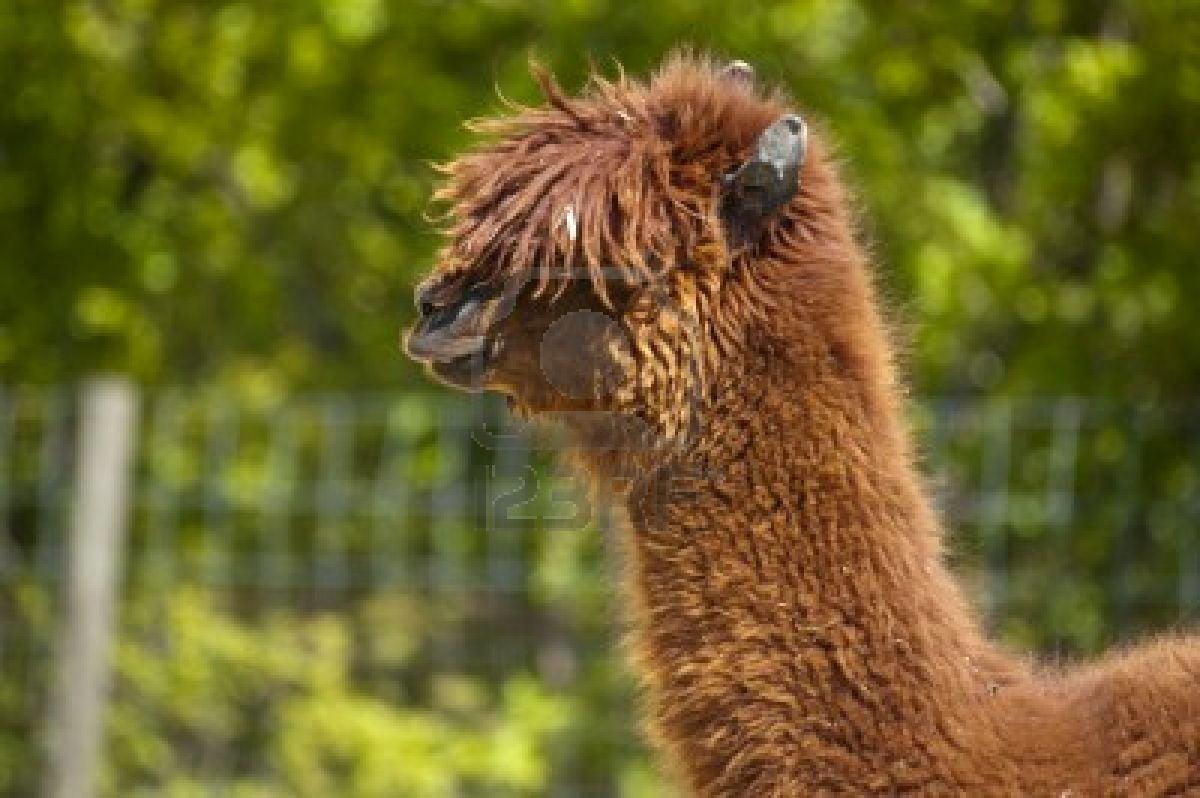 Cute Llama Wallpaper Funny looking llama 1200x798
