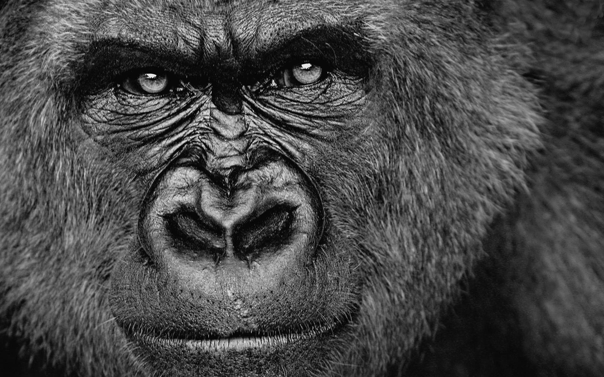 Gorilla Wallpapers 1920x1200