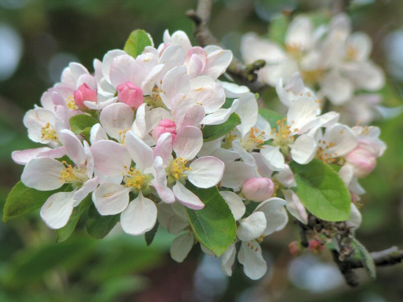 Apple Blossom Wallpapers Wallpaper Bonzy 800x600