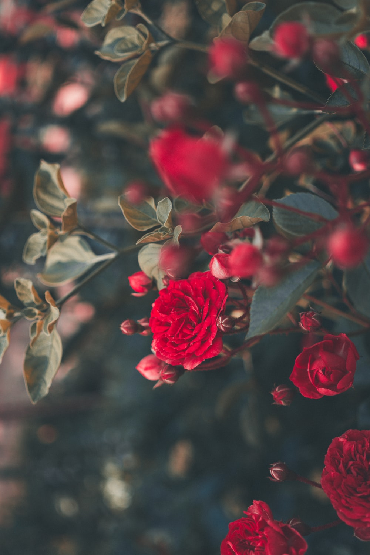 Rose Wallpapers HD Download [500 HQ] Unsplash 1000x1500