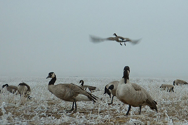 goose hunting image search results 600x400