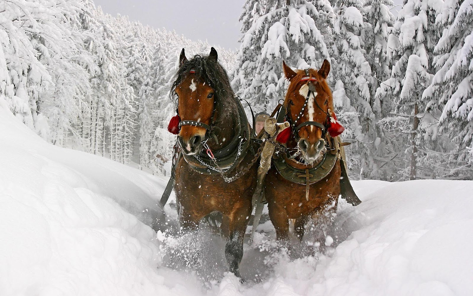 HD animal wallpaper with two brown horses running through the snow 1600x1000