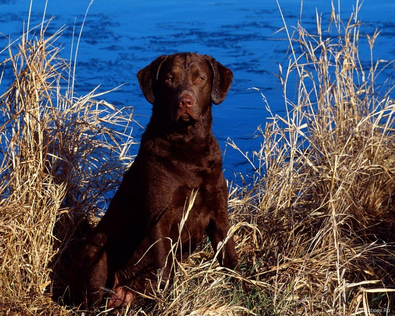 Chocolate Lab Wallpapers 1280x1024