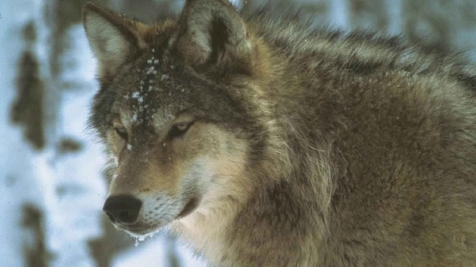 Could hunting or UP wolves solve Isle Royale moose problem 1600x900