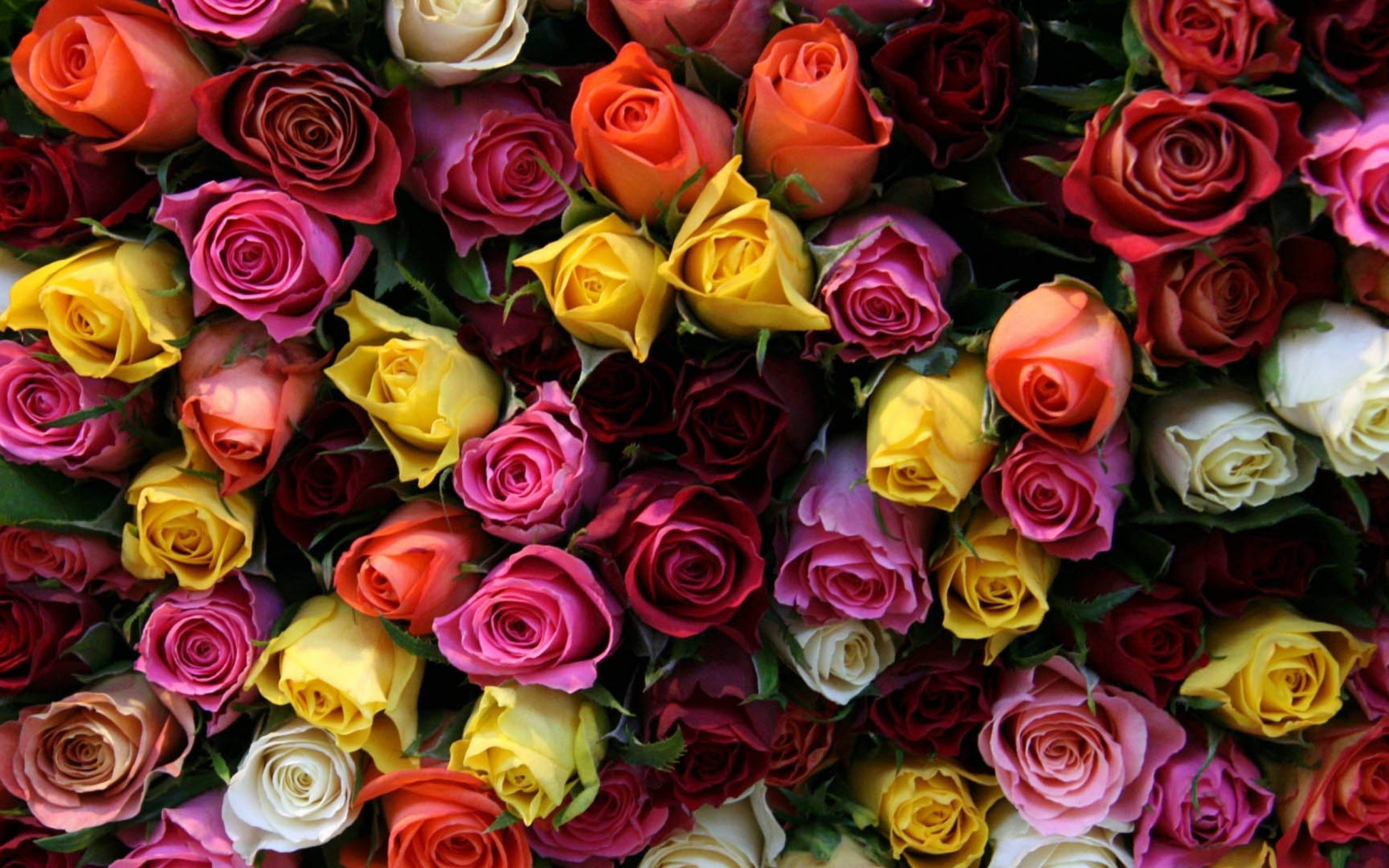 Colorful Rose Wallpapers Colorful Rose Backgrounds Collection