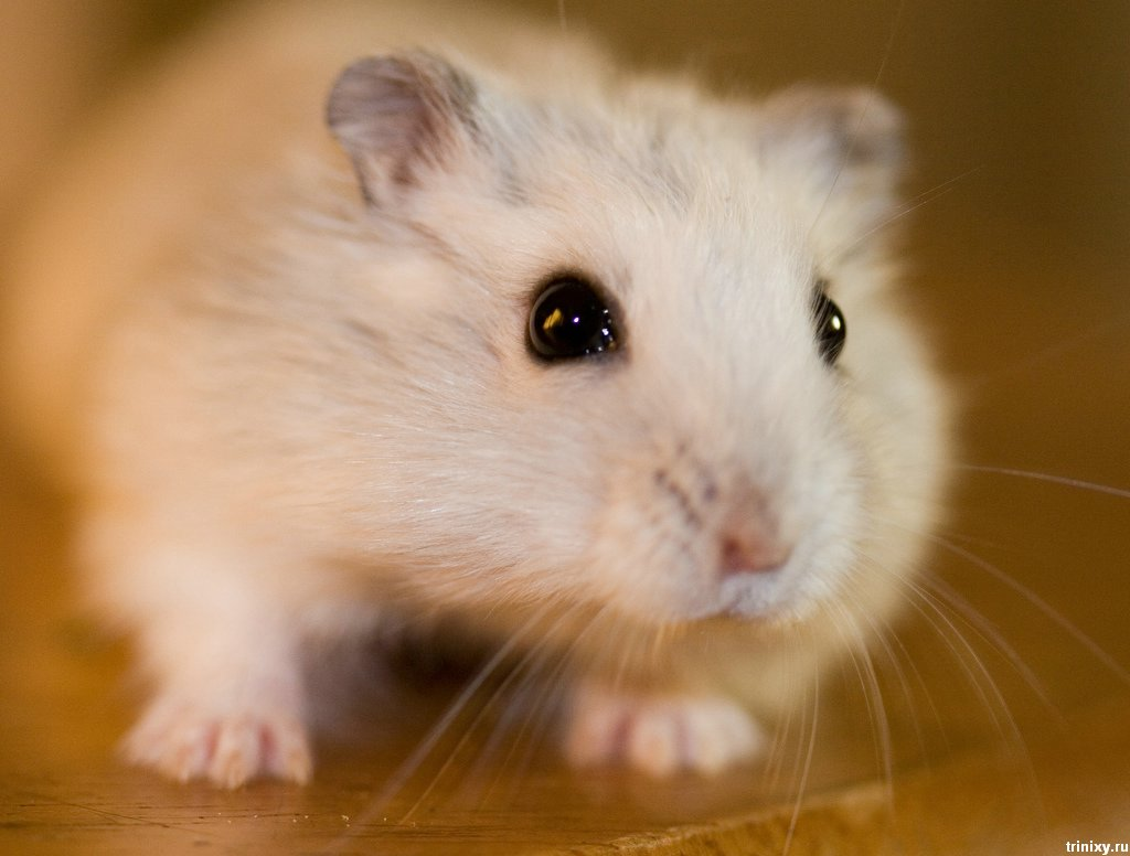 View Big Cute Hamster Face wallpaper Download Big Cute Hamster Face 1024x776