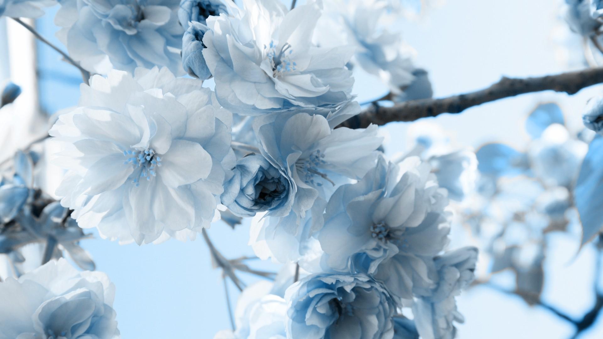 wallpaper blossoms scenic white blue bluewhiteflower images 1920x1080