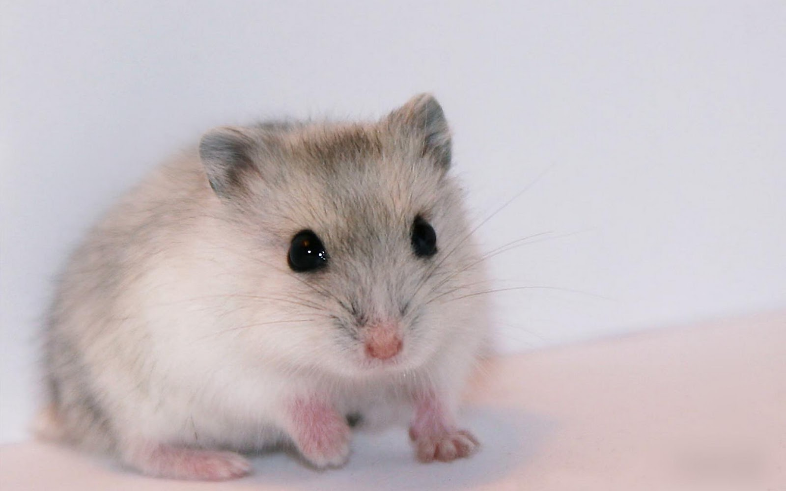 Cute Hamster Wallpapers 1600x1000