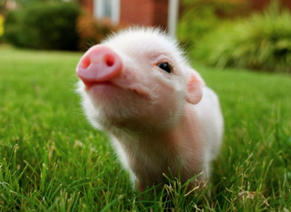 Baby Pig Wallpapers   Top Baby Pig Backgrounds   WallpaperAccess 1216x885