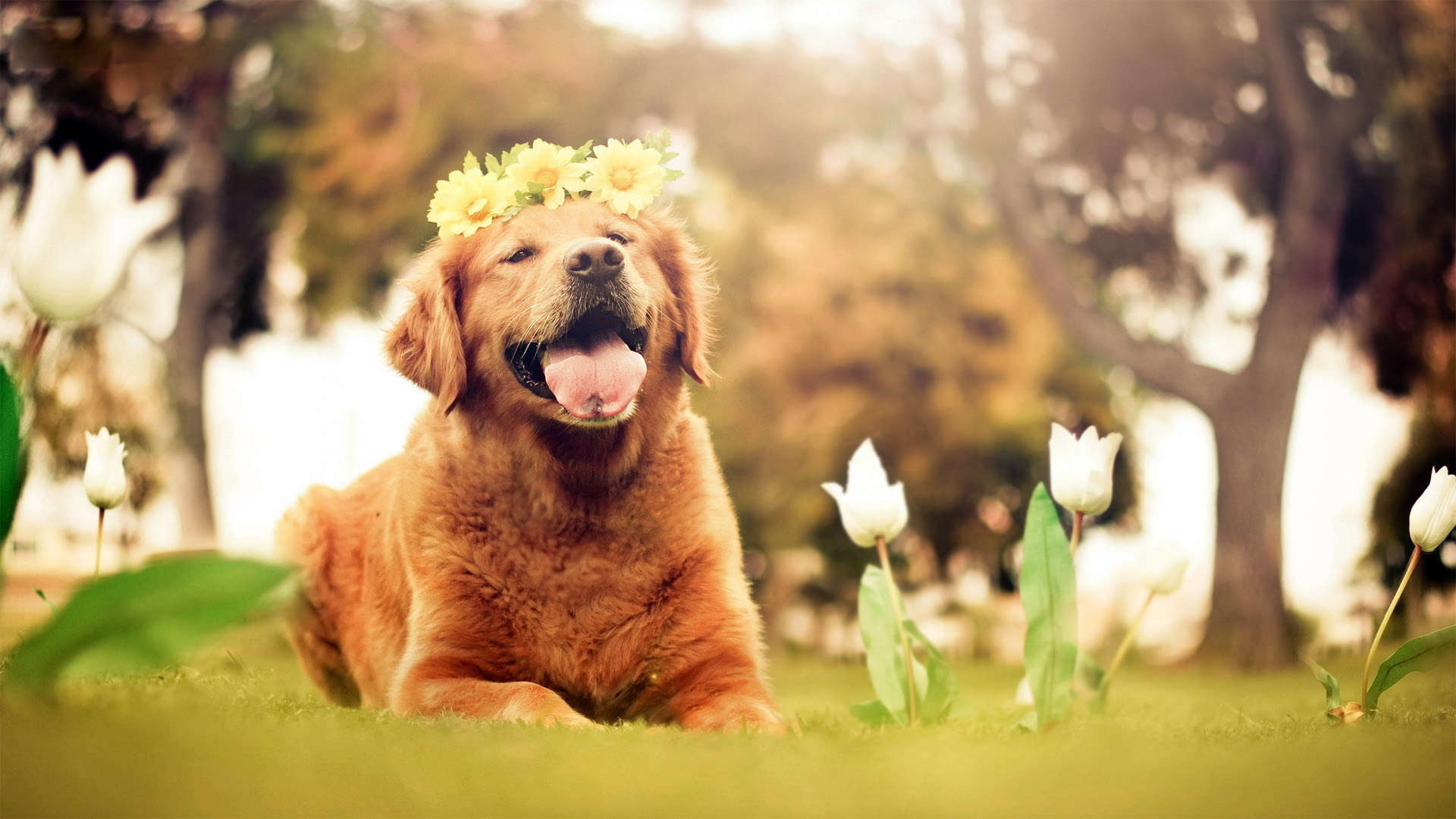 Golden Retriever HD Wallpapers 1920x1080