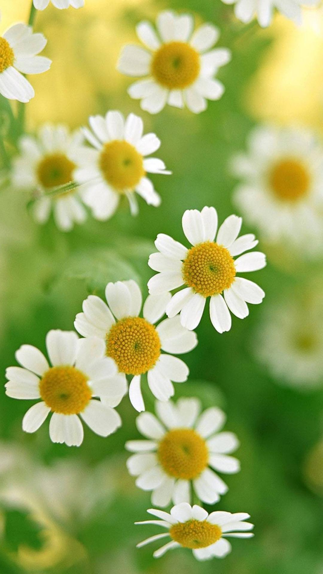 Nature White Daisy Flower iPhone 6 Wallpaperjpg 1080x1920 1080x1920
