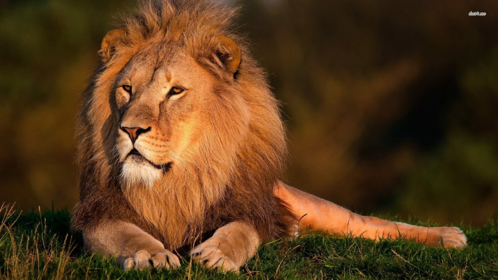 lions wallpapers lion hd wallpapers lion attack hd pictures lion lion 1600x900