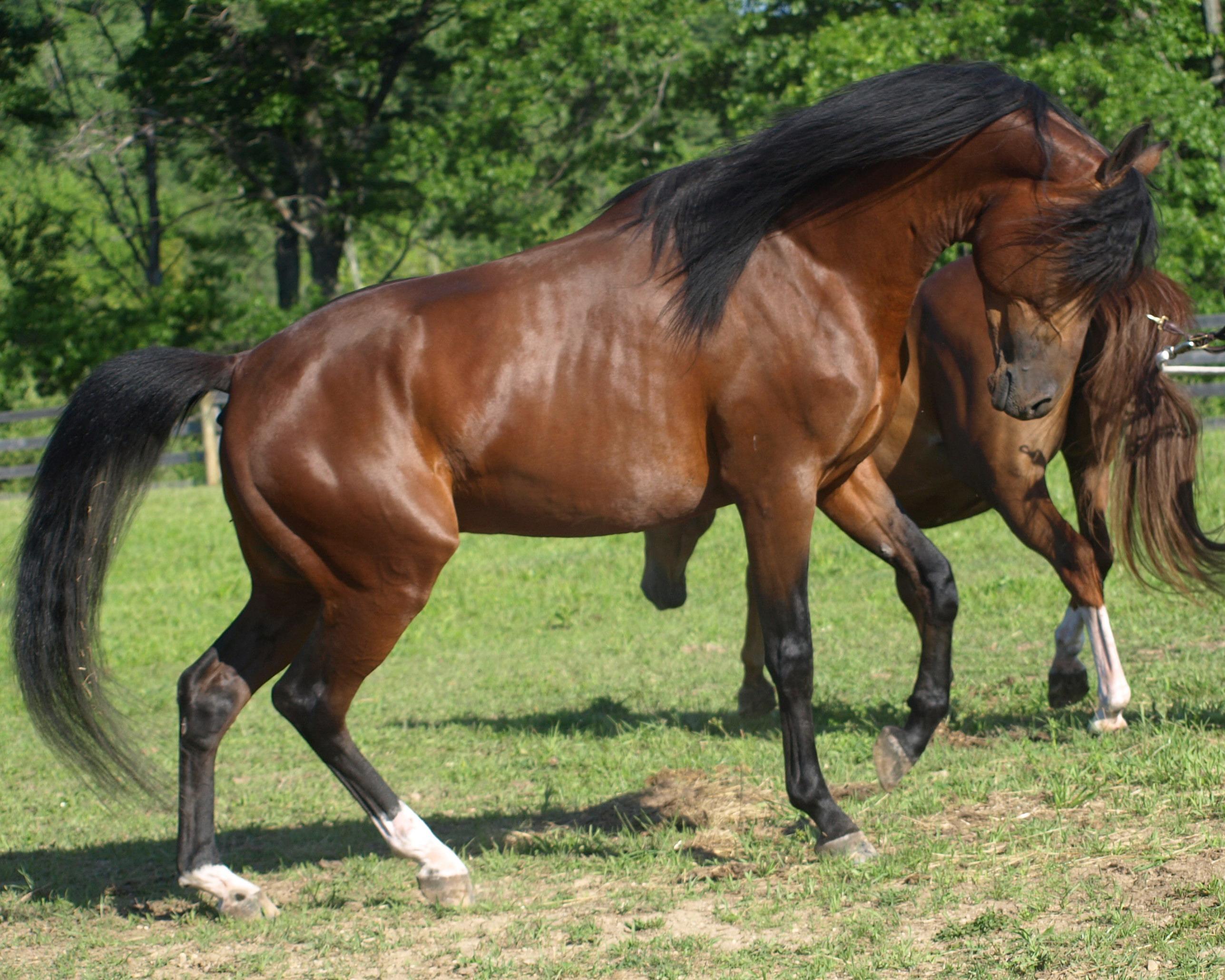 Arabian horse images