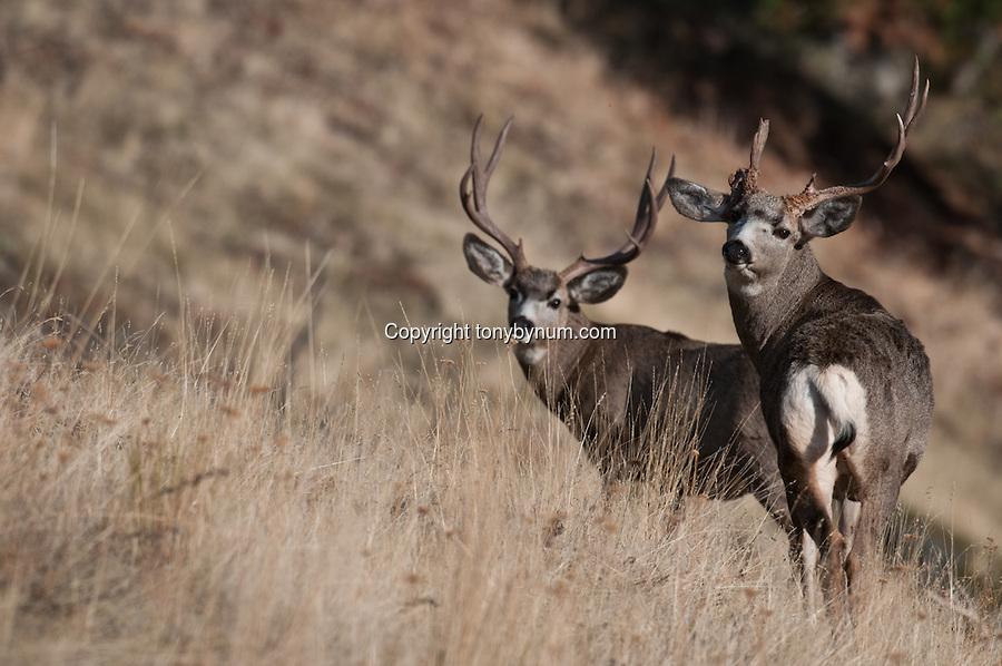 free mule deer wallpaper wallpapersafari