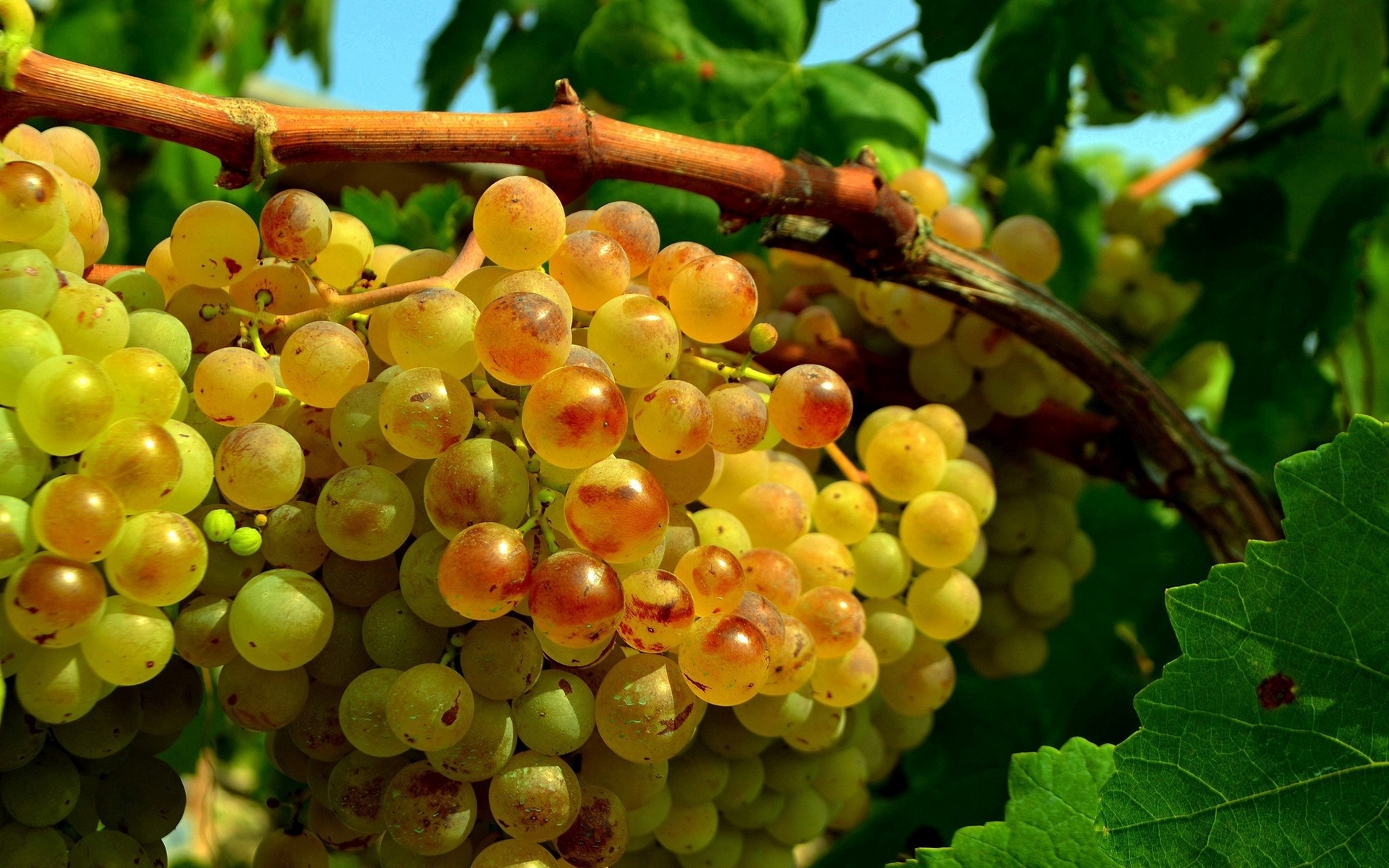 Grapes wallpaper 27975 1920x1200