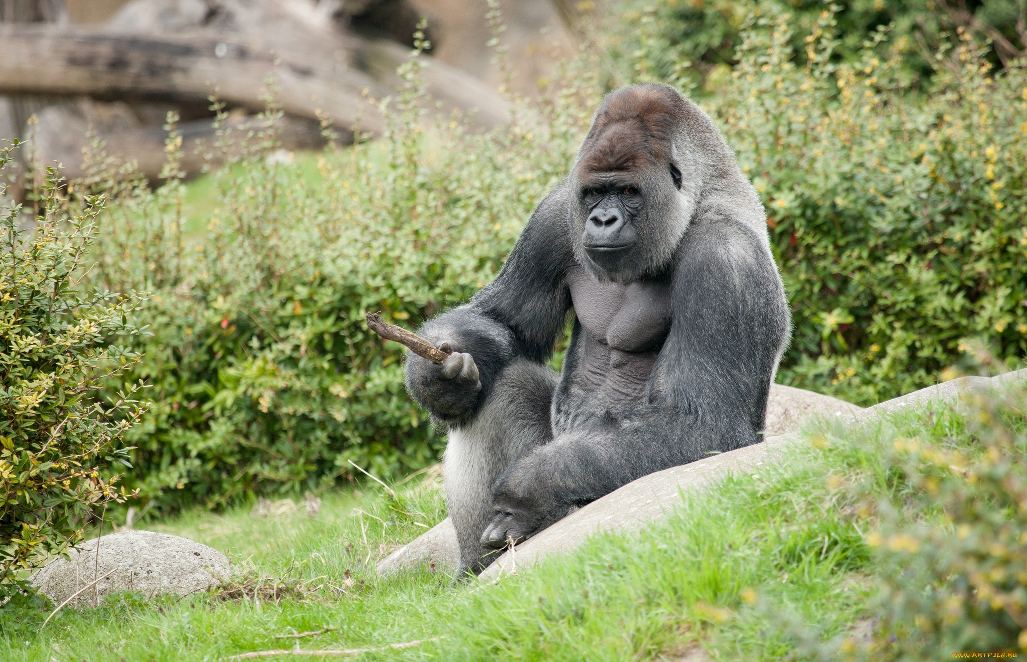 117 Gorilla HD Wallpapers Background Images 2048x1320