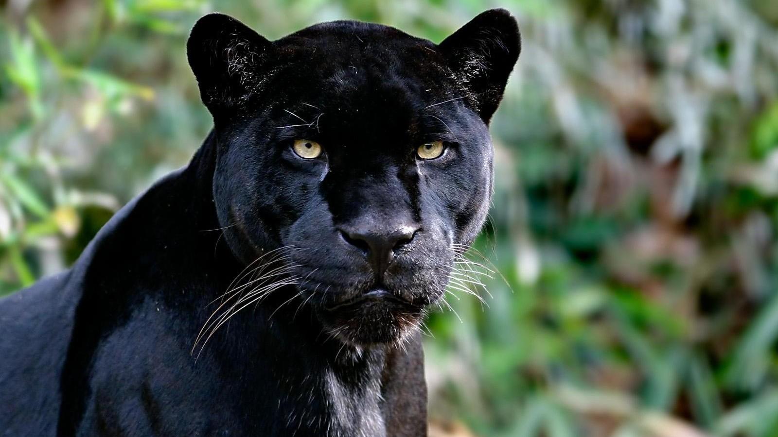 Asignacin Animales Salvajes Pantera Negra 1600x900