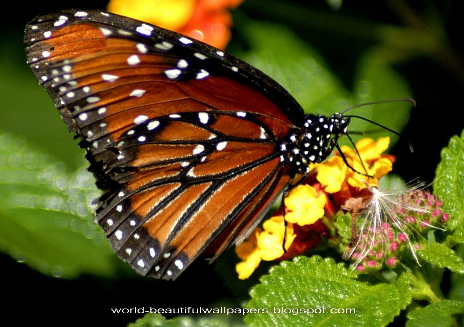 Beautiful Wallpapers Beautiful Butterflies Wallpaper 904x638